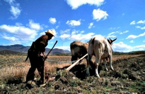 oxen plowing