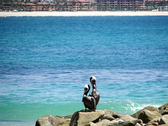 Pelicans at Palmilla Beach